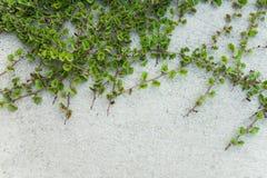 Зеленый завод Creeper на белой стене Стоковое Фото