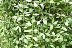 Зеленый завод nummularia Dischidia в саде природы Стоковое Фото