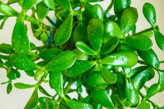 зеленый завод potted Стоковое Фото