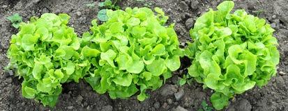 зеленый земной дуб салата листьев Стоковое фото RF
