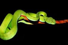 зеленый змеенжш змейки ямы Стоковая Фотография