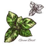 Зеленый значок завода эскиза вектора приправой базилика иллюстрация вектора