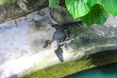 Зеленый зубастый крокодил на каникулах стоковая фотография