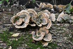 Зеленый и коричневый гриб на старом деревянном журнале Группа в составе грибы растя в лесе осени около старого журнала Фото гриба стоковое изображение rf