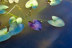 Зеленый и пурпурный плавать листьев стоковое изображение rf