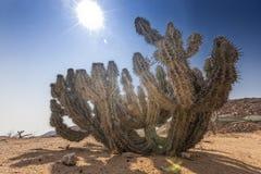 Зеленый кактус в пустыне namibe вышесказанного anisette стоковые изображения rf