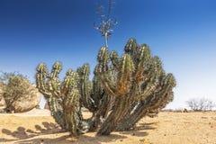 Зеленый кактус в пустыне namibe вышесказанного anisette стоковые фото