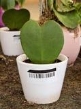 Зеленый кактус в форме сердца Стоковые Изображения
