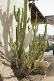 Зеленый кактус на здании самана стоковые изображения rf