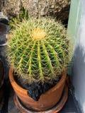 Зеленый кактус с длинными позвоночниками стоковая фотография