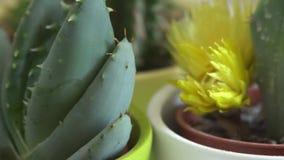 Зеленый кактус с острыми иглами вращает видеоматериал