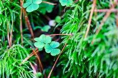 Зеленый клевер выходит в мох, предпосылку дня St. Patrick Стоковые Фотографии RF