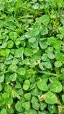 Зеленый клевер выходит летом стоковое фото rf