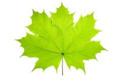 Зеленый кленовый лист как концепция весны и природы лета сезонная тематическая также значок погоды падения на изолированной белиз стоковые фотографии rf