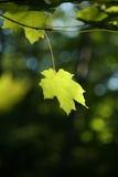 Зеленый кленовый лист Стоковые Фото