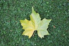 зеленый клен листьев лужайки Стоковая Фотография