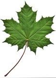 зеленый клен листьев Стоковые Фото