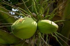 зеленый кокос на кокосовой пальме стоковые изображения rf