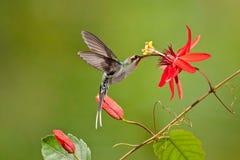Зеленый колибри затворницы Стоковые Фотографии RF