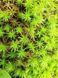 Зеленый конец-вверх игл мха стоковые фото