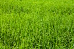 Зеленый конец-вверх поля риса Стоковые Фотографии RF