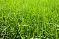 Зеленый конец-вверх поля риса Стоковые Фото
