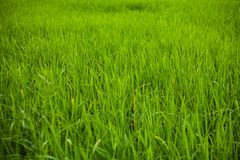 Зеленый конец-вверх поля риса Стоковая Фотография
