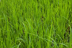 Зеленый конец-вверх поля риса Стоковое Изображение RF