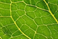 Зеленый конец-вверх Armoracia лист, конец хрена лист текстуры вверх o Rusticana Armoracia Armoracia стоковое фото rf