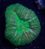 Зеленый коралл мозга Lobophyllia Стоковые Изображения