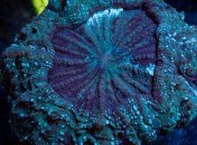 Зеленый коралл мяса Acanthophyllia в воде Стоковая Фотография RF