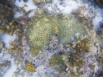 Зеленый коралл фото тропического seashore подводного Животное кораллового рифа Стоковые Фотографии RF