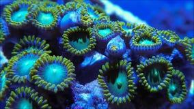 Зеленый коралл Zoanthid сток-видео