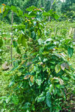 Зеленый кофе. Стоковые Изображения