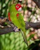 зеленый красный цвет попыгая Стоковые Изображения