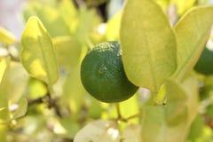 Зеленый крупный план куста мандарина стоковая фотография