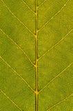 Зеленый крупный план листьев Стоковая Фотография