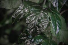 Зеленый крупный план лист Темная ая-зелен предпосылка evergreen Сохраните концепцию экологичности Детальная листва стоковое изображение