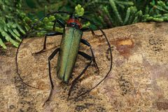 Зеленый крупный план barbel жука стоковое фото rf