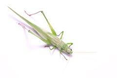 Зеленый кузнечик стоковое изображение rf