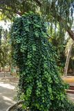 Зеленый курчавый плющ стоковые изображения rf
