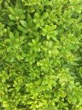 Зеленый куст, как текстура листьев стоковая фотография