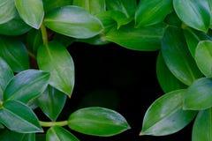 Зеленый куст лист на черноте Стоковые Изображения RF