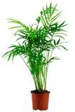 Зеленый ладон-вал howea в flowerpot Стоковое фото RF