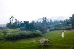 Зеленый ландшафт рисовых полей стоковое изображение rf