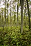 Зеленый лес вполне папоротника на вертеле Curonian, Литве Стоковое Фото