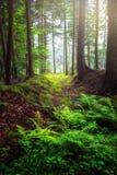 Зеленый лес в туманной атмосфере утра стоковая фотография