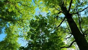 Зеленый лес дуба, панорама видеоматериал