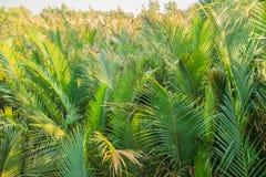 Зеленый лес ладони nipa (fruticans Nypa) с предпосылкой голубого неба Стоковое Изображение RF
