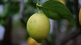 Зеленый лимон в дереве Стоковая Фотография RF